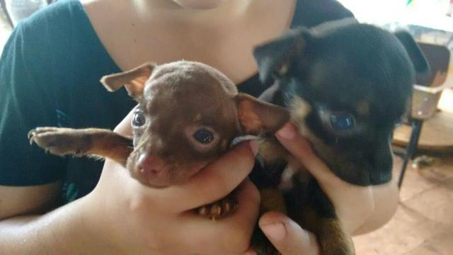 Cachorrinhos pinscher