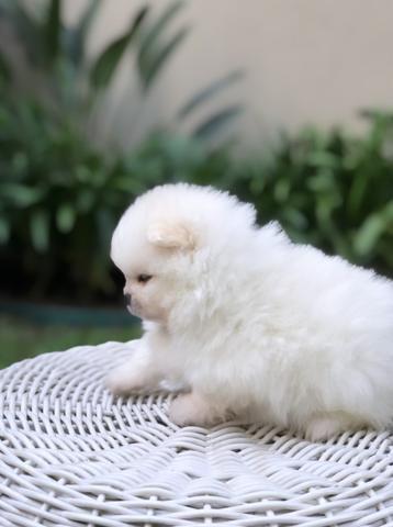 Vende-se macho Lulu da Pomerânia branco - Foto 2