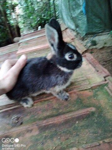 Mini coelho anão Holandês padrão pet. - Foto 4