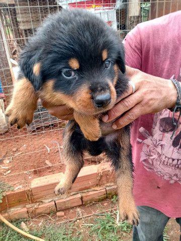 Vendo filhotes de Rottweiler *