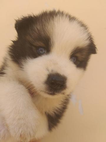 Filhotes de husky siberiano piebald - Foto 3
