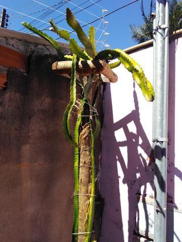 Vasos,mudas de pitaya - Foto 2