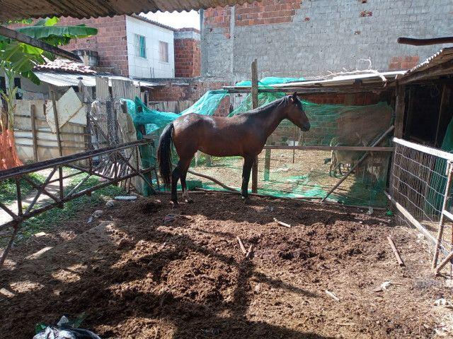 Égua - Foto 2