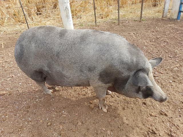 Porco - Foto 2