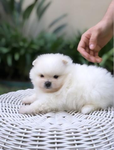 Vende-se macho Lulu da Pomerânia branco - Foto 4