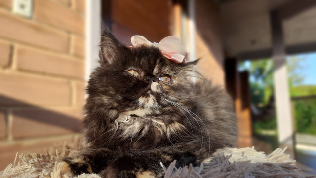 Gatos persas fêmea maravilhosas - Foto 2