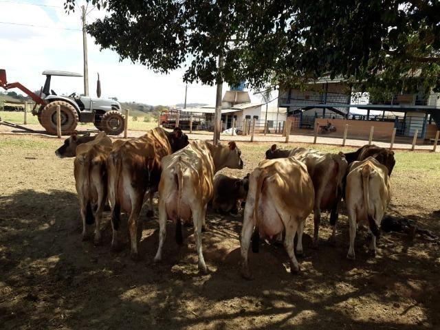 Vacas girolanda (Plano de venda) - Foto 5