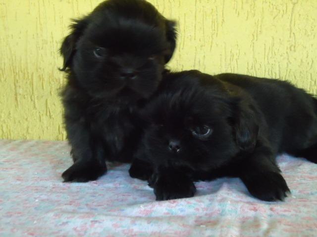 Filhotes Cães Maltês e Shi-Tzu Machinhos-2 Vacinas-Pedigree's Opç - Foto 6