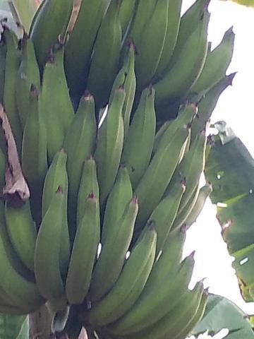 Mudas d banana - Foto 2