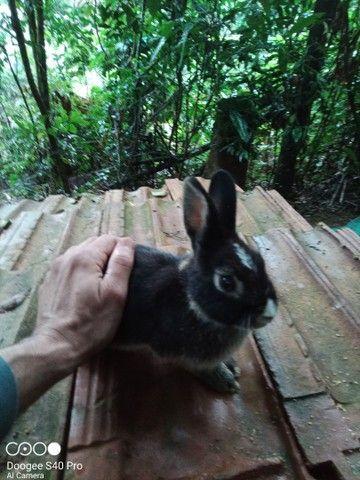 Mini coelho anão Holandês padrão pet. - Foto 3
