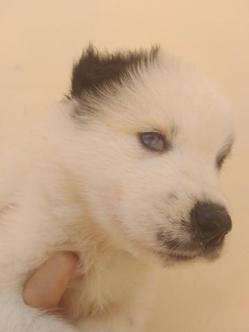 Filhotes de husky siberiano piebald - Foto 2