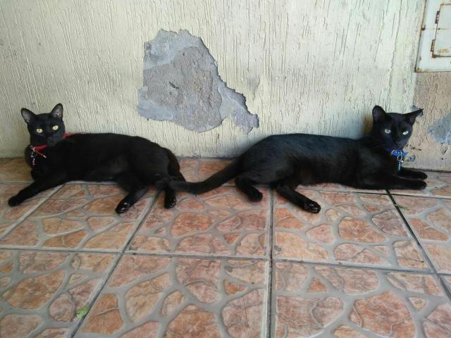 Doa-se casal de Gatos