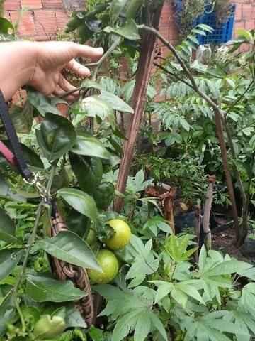 Plantas produzindo - Foto 4