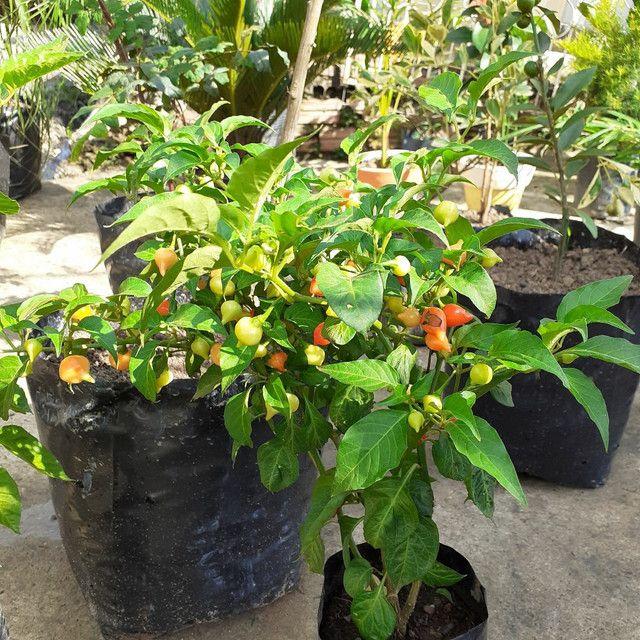 Plantas em produção - Foto 3