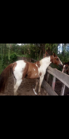 Lindo cavalo oveiros tostado de toda confiança e Bueno de laço