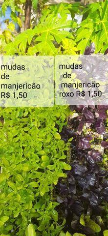 Mudas de hortaliças, e suculentas plantas em geral - Foto 5