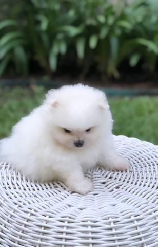 Vende-se macho Lulu da Pomerânia branco - Foto 3