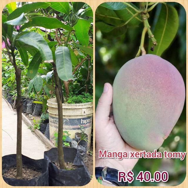 Plantas cupuaçu sem caroço xertato - Foto 4