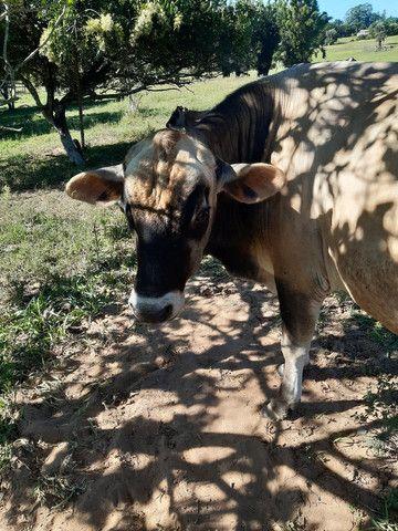Vendo touro JERSEY  - Foto 2