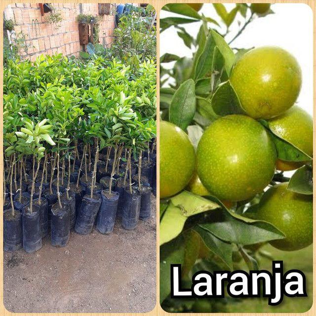 Plantas cupuaçu sem caroço xertato - Foto 5