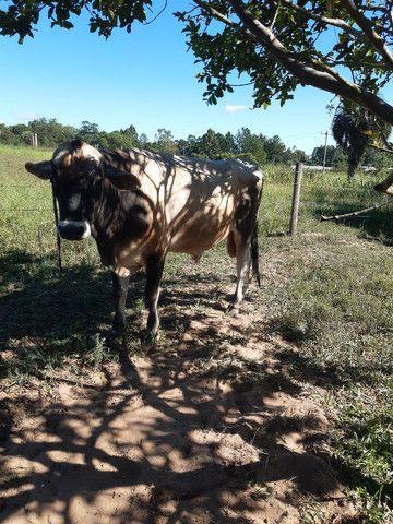 Vendo touro JERSEY  - Foto 3
