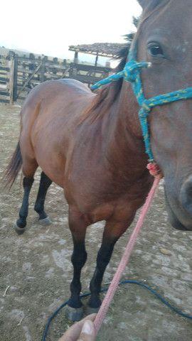 Cavalos 4 de milha - Foto 2