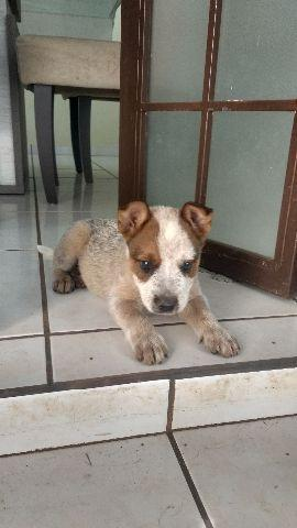 Filhote de Australian Cattle Dog
