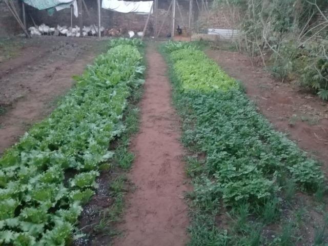 Venda de Frangos limpos e Verduras Orgânicas - Foto 5