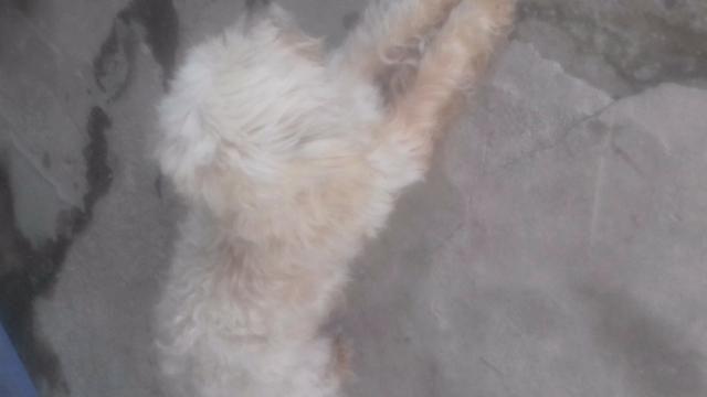 Doa se cachorro poodle em matinhos