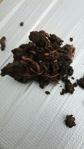 Minhoca vermelha californiana - Foto 2