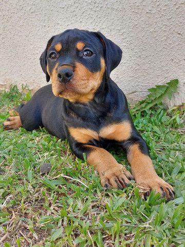 Vende-se lindas filhotes fêmeas de Rottweiler com 2 meses