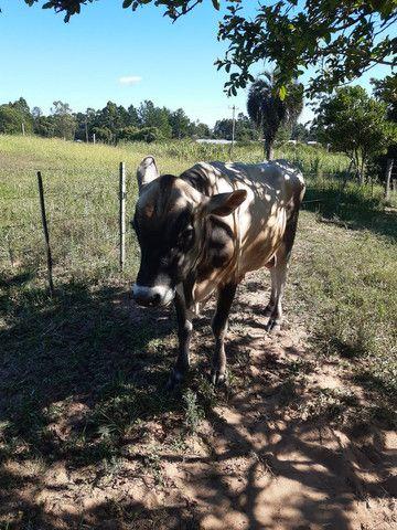 Vendo touro JERSEY  - Foto 6