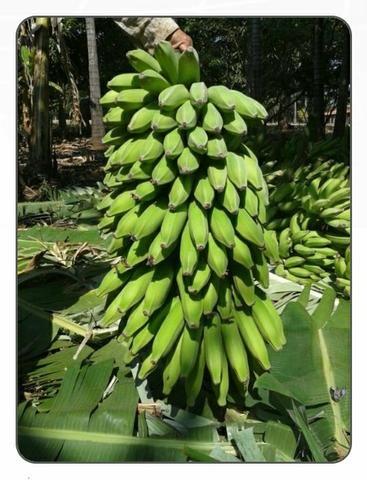 Mudas de banana prata