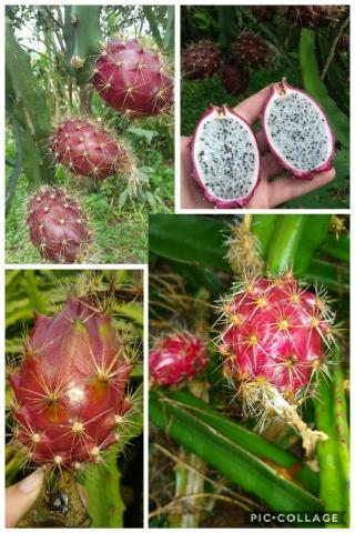 Mudas de pitaya de diversas variedades - Foto 3