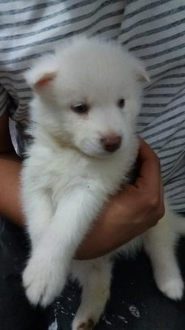 Filhote Husky Siberiano - Foto 3