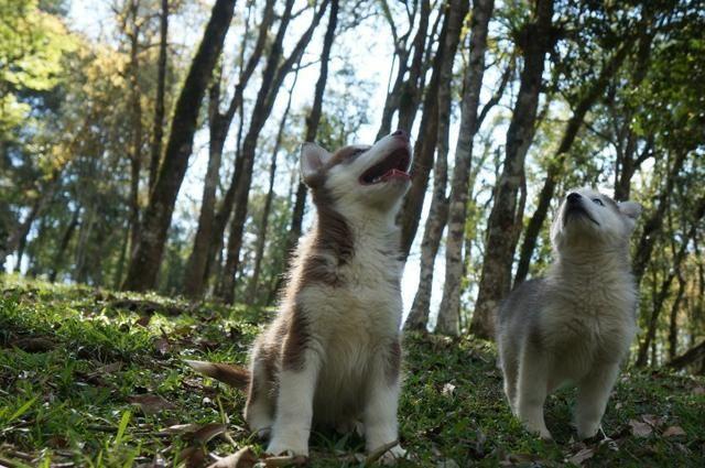 !!!!! Husky Siberianos Excelente Padrão !!!! - Foto 6