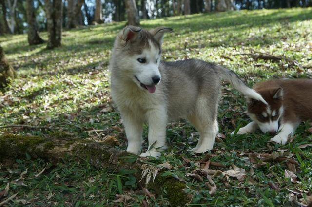 !!!!! Husky Siberianos Excelente Padrão !!!!