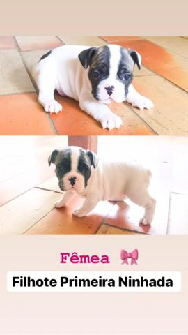 Bulldog Francês - Disponivel para cobertura ( Macho ) VENDA DE FILHOTES - Foto 6