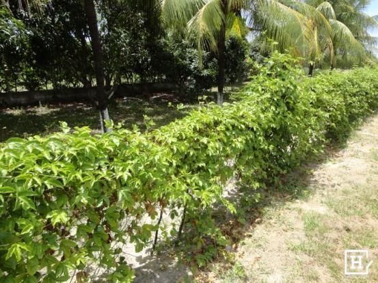 Terreno à venda - mosqueiro (zona de expansão) - Foto 4