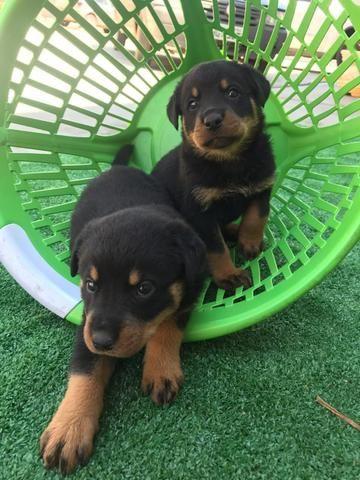 Rottweiler com pedigree e microchip