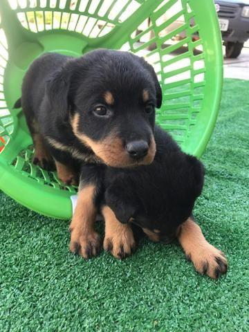 Rottweiler com pedigree e microchip - Foto 2