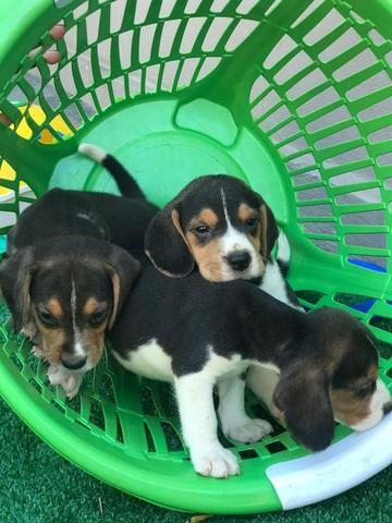 Beagle com pedgree e microchip - Foto 3