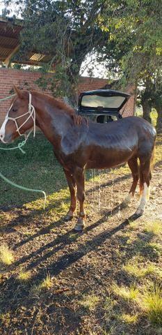 Casal cavalos crioulos