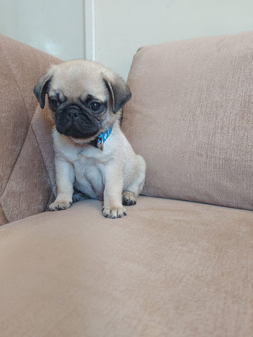 MACHINHO PUG (ÚLTIMO)