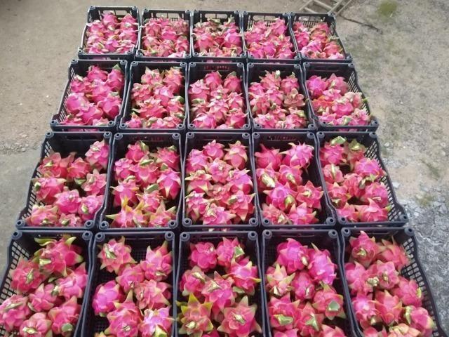 Mudas de pitaya de diversas variedades - Foto 6