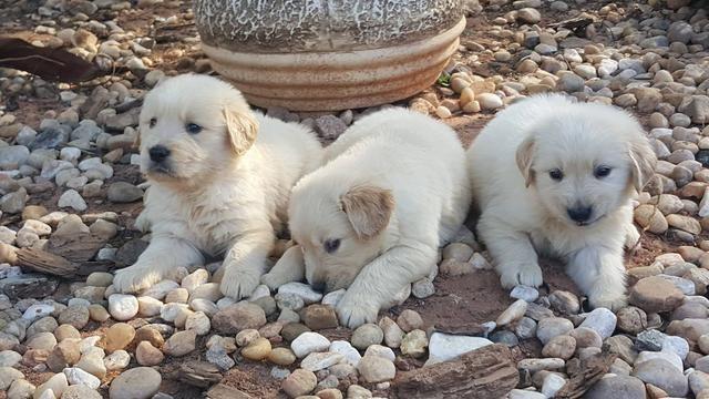 Golden retriever com pedigree e microchip - Foto 3