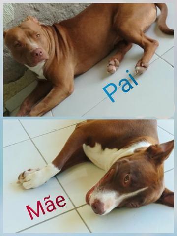 Vendo Filhote Pitbull - Foto 5