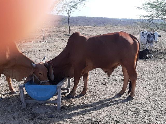 Vacas, novilhas, garrotas e touro SINDI - Foto 4