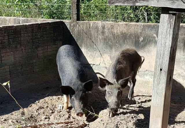 Porcas prenha java porco