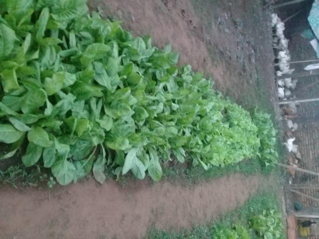 Venda de Frangos limpos e Verduras Orgânicas - Foto 4